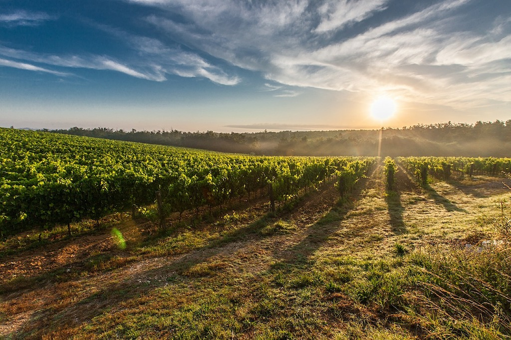 vineyards in Umbria and Tuscany